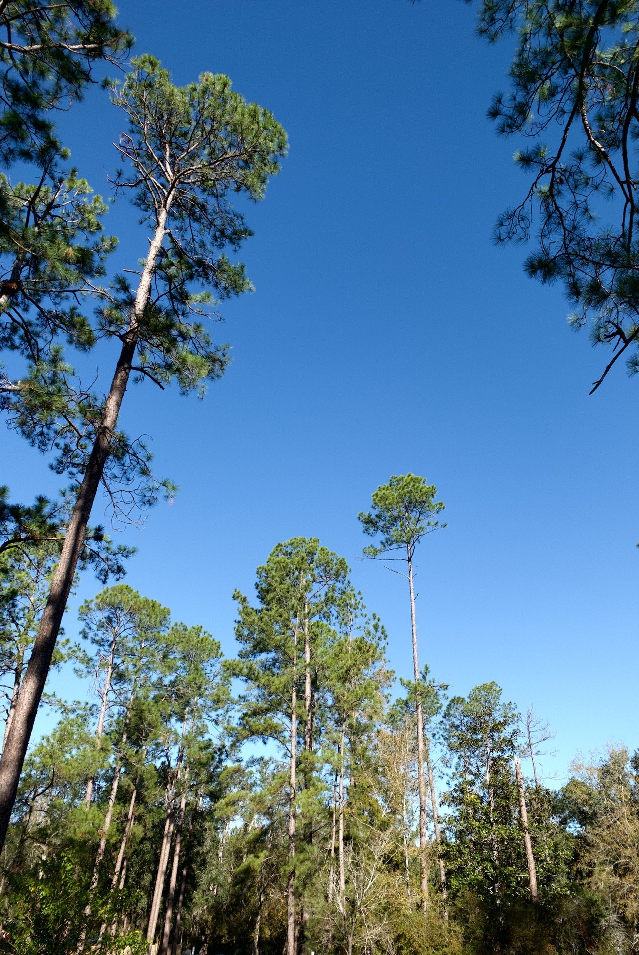 Southwest Georgia pines and sky